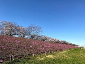 コンフォートスペース志茂の近所で桜が咲きました。
